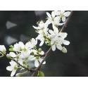 Cherry Plum (Prunier Myrobolan)