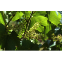 Vine (Vigne)