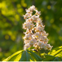 White Chestnut (Marronnier blanc)